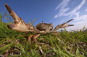 Mar2613 Art - Crab In Defensive Posture Silaka Nature by Piotr Naskrecki