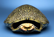 Colored Shell Framed Prints - Crab Inside Of Empty Turtle Shell Framed Print by Jeffrey Hamilton
