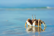 Sea Shell Framed Prints - Crab on the tropical beach Framed Print by MotHaiBaPhoto Prints