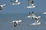 Flock Of Bird Art - Crab Plovers In Flight by Aditya Singh