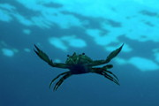 Crustacean Posters - Crab swimming in the blue water Poster by Sami Sarkis