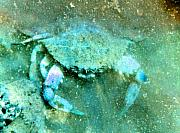 Crustacean Art - Crab with the Blues by Wayne Potrafka