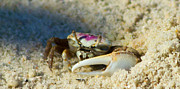 Fiddler Crab Prints - Crabby Print by Wild Expressions Photography