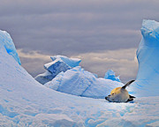 Antarctic Ocean Prints - Crabeater on Ice Print by Tony Beck