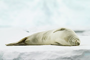 Cold Temperature Art - Crabeater Seal (lobodon Carcinophaga) by Elliott Neep