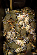 Abundance Posters - Crabs In A Box Poster by Thepurpledoor