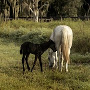 Lynn Palmer Posters - Cracker Foal and Mare Poster by Lynn Palmer