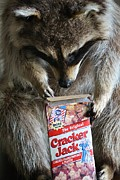 Raccoon Digital Art - Cracker Jack by Paulette  Thomas
