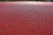 Bog Prints - Cranberries Print by Olivier Le Queinec