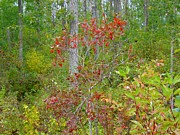 Alberta Prints - Cranberries with Early Autumn colors Print by Jim Sauchyn