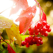 Red Leaves Photos - Cranberry Bliss by Matt Dobson