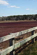 Cranberry Framed Prints - Cranberry Bog and Fence Framed Print by Brooke Ryan