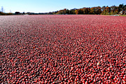 Cranberries Framed Prints - Cranberry Bog in New Jersey Framed Print by Olivier Le Queinec