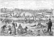 Cranberry Prints - Cranberry Harvest, 1877 Print by Granger