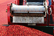 Conveyor Framed Prints - Cranberry Harvest Framed Print by Andrew Pacheco