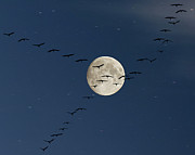 Flock Of Birds Posters - Cranes Flying To Moon Poster by Sebastian Schneider