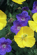 Geranium Photos - Cranesbill And Iceland Poppy Flowers by Archie Young