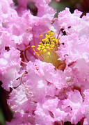 Floral Photographs Art - Crapemyrtle Capital of Oklahoma by Toni Hopper