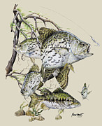 Crappie Posters - Crappie and Bass Poster by Kevin Brant