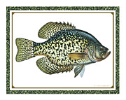 Stream Paintings - Crappie Print by JQ Licensing