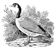 Cravat Metal Prints - Cravat Goose Metal Print by Granger