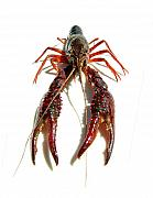 Pinchers Prints - Crawdad Print by Veronica Hoskins