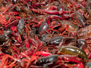 Crawfish Photos - Crawfish by Jim DeLillo