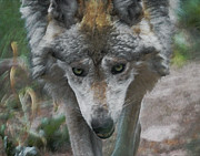 Mexican Grey Wolf Framed Prints - Crazy Wolf Framed Print by Ernie Echols
