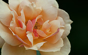 Olia Saunders Metal Prints - Cream Tea Rose Close-Up Detail Metal Print by Design Remix