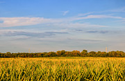 Cornfield Photos - Creamed Corn by Rachel Cohen