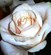 Rose Prints - Creamy Rose III Print by Alys Caviness-Gober
