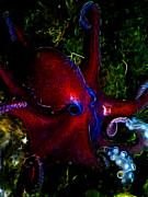 Octopus Prints - Creatures of The Deep - The Octopus - Electric - Red Print by Wingsdomain Art and Photography