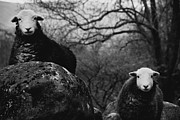 Creepy Photo Metal Prints - Creep Sheep Metal Print by Justin Albrecht