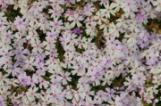 Creeping Phlox Framed Prints - Creeping Philox Framed Print by Patrick  Short
