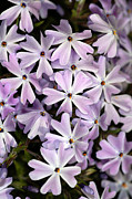 Phlox Metal Prints - Creeping Phlox (phlox Subulata) Metal Print by Dr Keith Wheeler