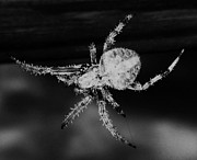 Creepy Digital Art Framed Prints - Creepy Spider - Black and White - Photography - Digital Art Framed Print by Rebecca Anne Grant