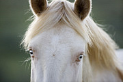 Wild Horses Prints - Cremellos Eyes Print by Carol Walker