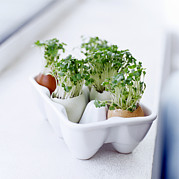 Eggshells Posters - Cress In Eggshells Poster by David Munns
