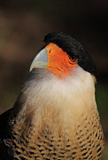 Falcon Metal Prints - Crested Caracara Metal Print by Bruce J Robinson