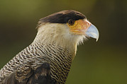 Head And Shoulders Art - Crested Caracara Polyborus Plancus by Pete Oxford