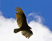 Crested Caracara Print by Roger Wedegis
