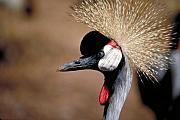 Crested Crane Print by Carl Purcell