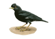 Starlings Originals - Crested Myna by Lionel Portier