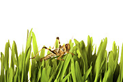 Cricket Prints - Cricket In Wheat Grass Print by Pascal Preti