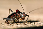 Cricket Prints - Cricket Print by Peter Scoones