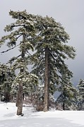 Snow Covered Pine Trees Prints - Crimean Pines (pinus Nigra Pallasiana) Print by Bob Gibbons