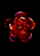 Scan Prints - Crimson Bloom Print by Dolly Mohr