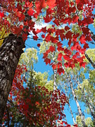Peterson Nature Photography Prints - Crimson Foliage Print by Melissa Peterson