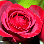Rosaceae Prints - Crimson Red Rose Print by Karon Melillo DeVega