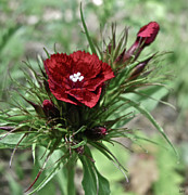 Pretty Wildflower Prints - Crimson Velvet  Print by Debra     Vatalaro